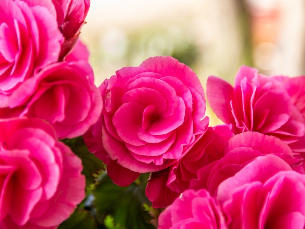 begonia double pink 2