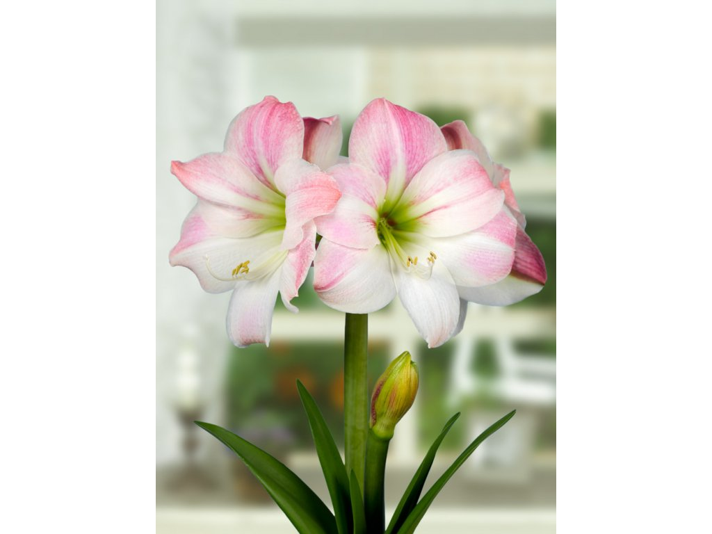 pink apple blossom amaryllis picture id139746054