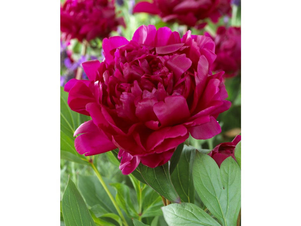 peony red picture id1145860216
