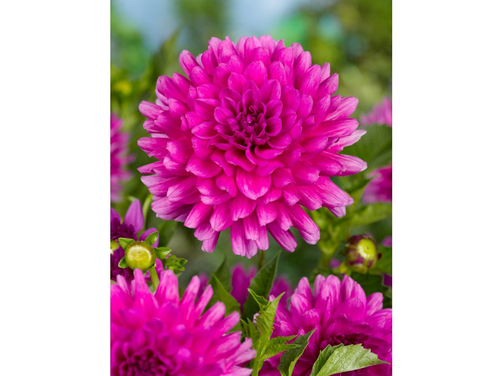 pink dahlia picture id1049318190