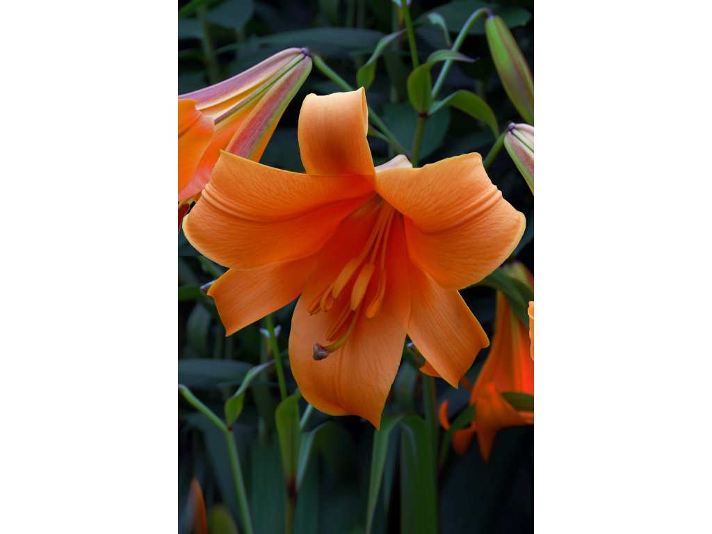FA 11 0364 Lilium Orange Matrtix