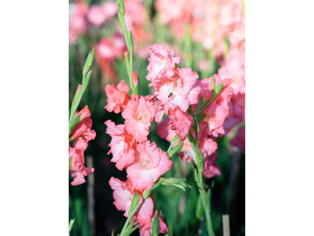 gladiolus rose supreme 17