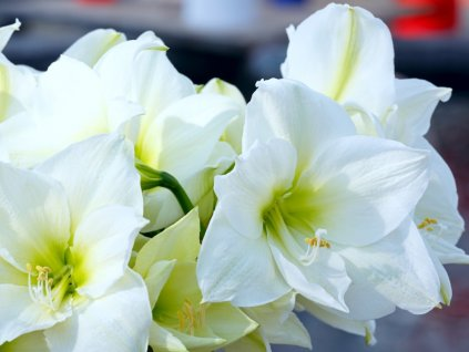 white amaryllis flowers picture id530839615