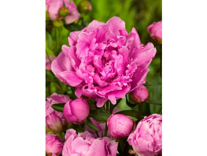 summer flowers series beautiful pink peony flowers in garden picture id653281180